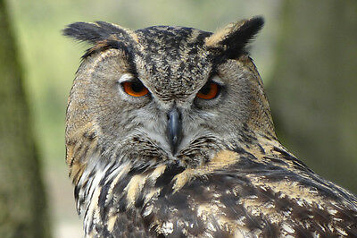 EAGLE OWL CLOSE UP POSTER PRINT 24x36 HI RES 9MIL PAPER