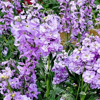 Matthiola bicornis - Night Scented Stock - 9000 seeds - Annual