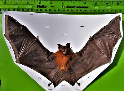 "Bicoloured Leaf-nosed Bat Hipposideros bicolor Spread 9+"" Span FAST SHIP FROM US"