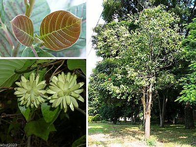 Happy Tree, Cancer Tree,Tree Of Life Tree Seed ,Camptotheca acuminata,