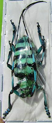 Asian Long-horn Beetle Anoplophora zonatrix Male FAST SHIP FROM USA