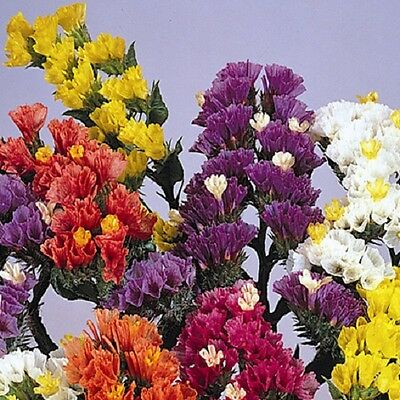 Statice Fortress Mixed 50 seeds - Annuals - Great for cut / dried flowers