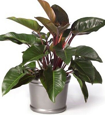 ROJO CONGO Philodendron Red tropical indoor house plant in 125mm pot