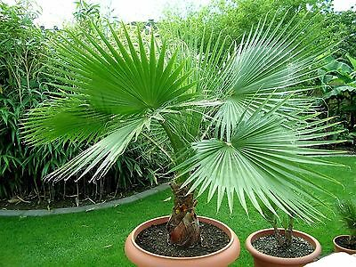 Graines de Palmier : WASHINGTONIA FILIFERA - Résistant !! Lot de 10 graines et +