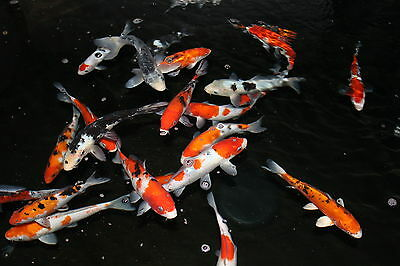Other koi pond fish koi pond fish ponds water Koi filter for sale