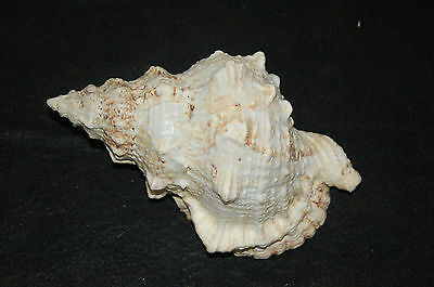 "Large Pacific Lampas Seashell 8.00"" (Frog Bursa)--fb-3"