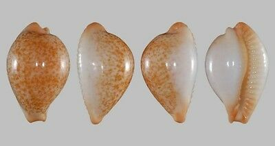 Cypraea barclayi Mozambique 20mm rare shell seashell GEM