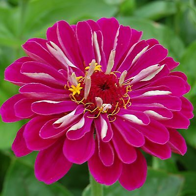 F0539 Zinnia Meteor Reddish Purple x50 seeds