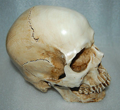 White Resin Replica 1:1 Life Size Human Anatomy Skull Realistic Halloween Decor