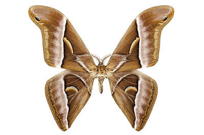 Large Java Silk Moth Samia insularis Pair Folded/Papered FAST SHIP FROM USA