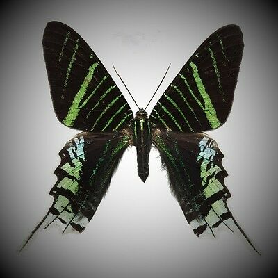 Gorgeous Day Flying Green-banded Urania Urania leilus Papered FAST SHIP FROM USA