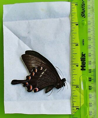 Alpine Black Swallowtail Papilio maackii maackii Summer Folded/Papered FAST USA