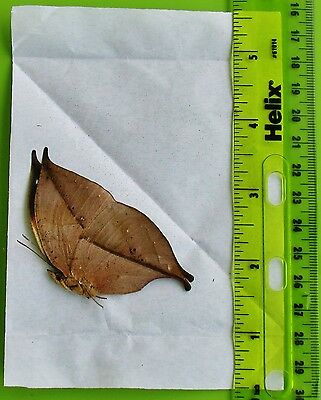 China Oak DeadLeaf Butterfly Kallima inachus chinensis Folded/Papered FAST USA
