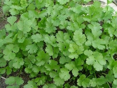 FreeShipping CILANTRO CORIANDER Coriandrum Sativum Herb Vegetables Spices Seeds.
