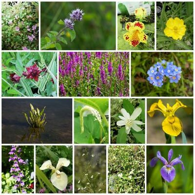 Pond Plants - 8 Different Wildlife Pond, Bee Friendly, Flowering Marginal Plants