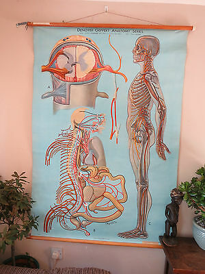 Anatomical Pull Down Medical School Chart Of The Human Nervous System 1948
