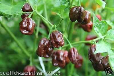 30 Semi  Di Habanero Chocolate Peperoncino Piccante + Guida  - Marrone -Brown-