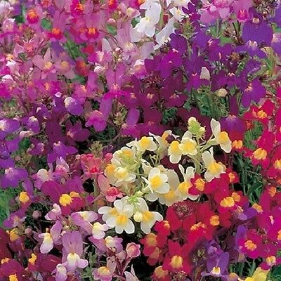"F0282 Linaria 'Fairy Bouquet"" Mix x500 seeds"