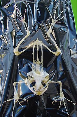 """Real Clean Asian Frog Skeleton  Near 4-6 """"  FAST SHIP FROM USA"""