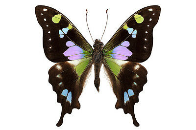 Purple Spotted Swallowtail Graphium weiskei Male Folded/Papered FAST FROM USA