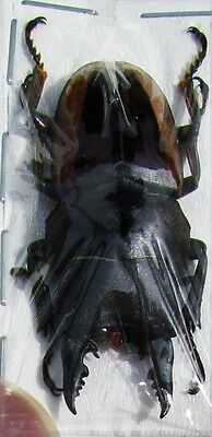Stag-Beetle Prosopocoilus lateralis lorquinii 40-45mm Male FAST SHIP FROM USA