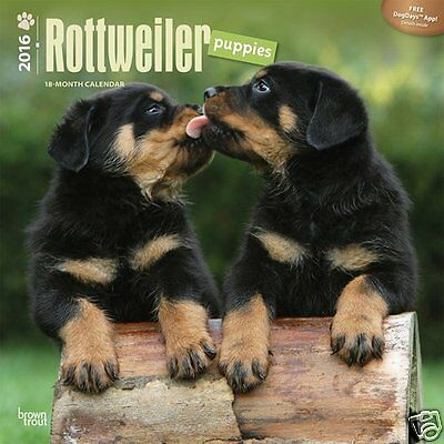 Rottweiler Puppies 2016 Wall Calendar - 30x30cm - Lovely images - REDUCED