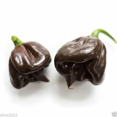 Black Stinger, Hot Pepper Seeds,(Capsicum chinense) , Very Hot, Rare.