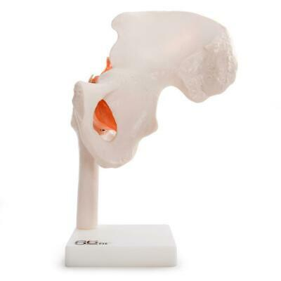 66fit Human Hip Joint Anatomical Model - Medical Teaching School Training Aid