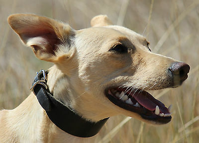 WC12 Leather Dog Collar Lurcher/Whippet/Bedlington Lamping/Coursing/Ferreting