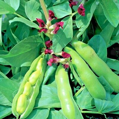 Vegetable - Broad Bean Crimson Flowered - 75 seeds  Sow Spring