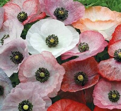 F0350 Papaver Rhoeas Mother of Pearl x50 seeds