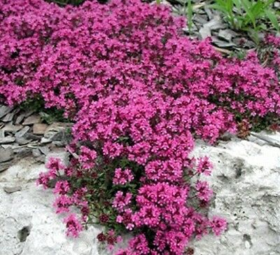 CRIMSON CREEPING THYME Thymus coccineus culinary herb plant in 100mm pot