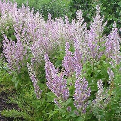 CLARY SAGE Salvia sclarea edible flower herb plant in 100mm pot