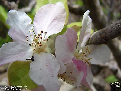 Borowinka Common Apple Malus pumila Borowinka - Hardy Zones 3