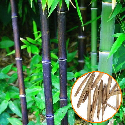 20 Black Pubescens Bamboo Seeds Phyllostachys Pubescens Home Garden Plant ea