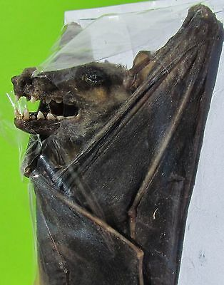 Cave Nectar Bat Eonycteris spelaea Hanging  FAST SHIP FROM USA