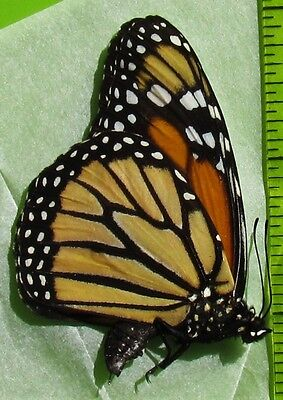 Beautiful Monarch Butterfly Danaus plexippus Folded/Papered FAST SHIP FROM USA