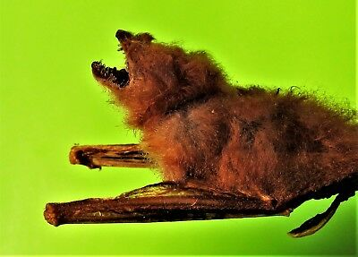 Asian Painted Bat Kerivoula picta Hanging Back View Taxidermy FAST SHIP FROM USA