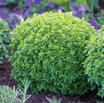 BOXWOOD Basil flavouring aromatic herb dwarf plant in 100mm pot *b
