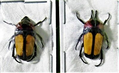 Flores Island Flower Beetle Dicheros bicornis florensis Pair FAST SHIP FROM USA