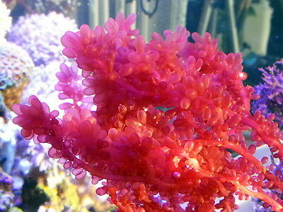 red algae and tropical marine climates Find out information about rhodophyta phylum of the  they are most common in warm-temperate and tropical climates,  most marine red algae have soft.