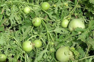 Vegetable :: Indian round gourd/Tinda/Indian Baby Pumpkinv**Pack of 30 Seeds**
