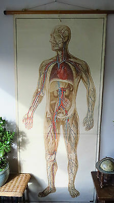 Vintage Anatomical Pull Down School Chart Of Human  Circulation 1965