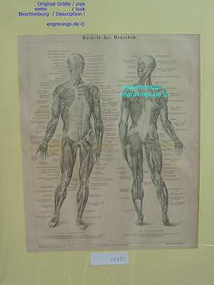 32970-Anatomie-Anatomy-MUSKELN-MUSCLES-HML-1875