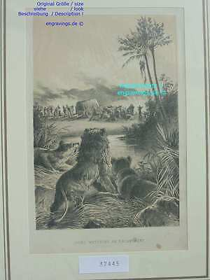 37445-Afrika-Africa-LÖWEN-LION-Livingstone-Lithographie-Lithography-1885