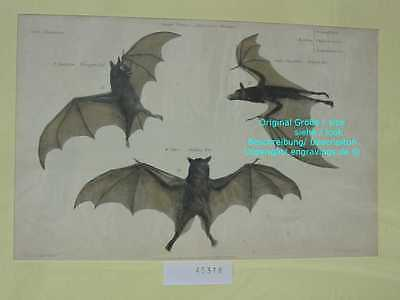 45318-Fledermaus-Fledermäuse-Bat-Bats-Alt Hand Koloriert-old hand coloured-1880