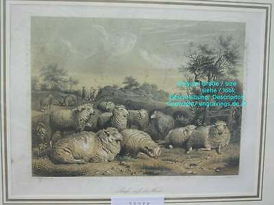 73233-Schafe-Sheep-Stahlstich-Steelengraving-Hand Koloriert-Hand coloured