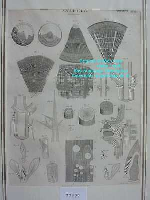 77822-Anatomy-Vegetables-Gemüse-Pflanzen-Kupferstich-Copper engraving-1816