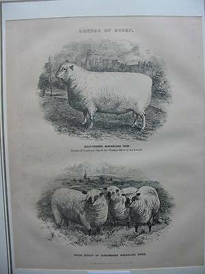 87128-Breeds of Sheep-Ram-Schafe-Holzstich-Wood engraving