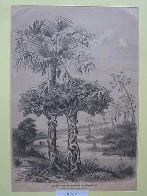 88707-Palme-Palm Tree-Weinpalme-Baumwürger-T Holzstich-Wood engraving